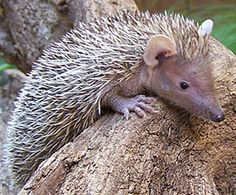 There are 34 species of Tenrecs - mammals who live on the incredibly bio-diverse island of Madagascar and scattered throughout isolated parts of the African continent.