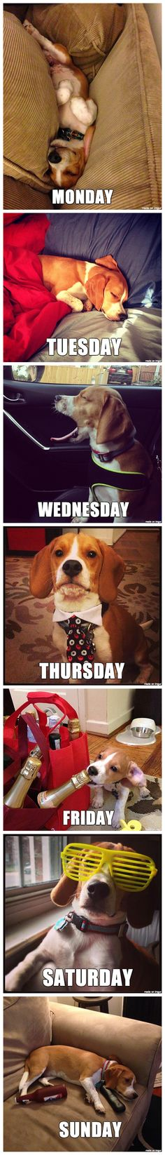 Week of the Beagle, or my week minus the champagne and Kanye glasses.