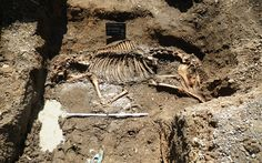 Archaeologists may have discovered the skeleton of the legendary 19th century stallion Doctors Syntax. The bones were uncovered during the excavation of the former royal stables of Palace House, one of the homes of King Charles II, in Newmarket, Suffolk.