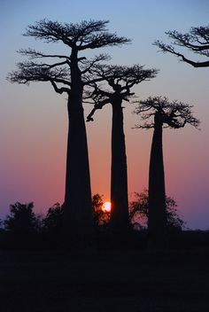 Avenue de baobab, Madagascar (by Johan Slaghuis) Le Baobab, Baobab Tree, Beautiful World, Beautiful Places, Wow Photo, Nature Tree, Tree Forest, Tree Of Life, Wonders Of The World