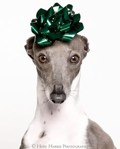 I'm fairly sure I would love a little tiny Italian Greyhound so much - we would be so good together -