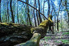 Zöld álca Long-erdő természetvédelmi terület,Sárospatak környékén... Plants, Planters, Plant, Planting