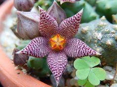 Piaranthus barrydalensis
