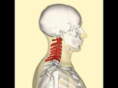 Protahovací cviky proti bolesti krční páteře / Naťahovacie cviky proti bolesti krčnej chrbtice - YouTube Figure Model, Ayurveda, Health Fitness, Youtube, Exercises, Diet, Fitness, Youtubers, Youtube Movies