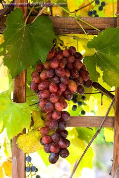 Red grapes (Vitis vinifera) https://www.facebook.com/FlavonMaxNetwork