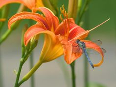 Tiger Lily - Love these - Holistic healers also believe the essence of the Tiger Lily flower can help suppress aggressive tendencies in individuals. Description from pinterest.com. I searched for this on bing.com/images