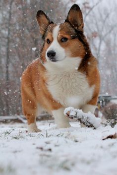 Winter Corgi