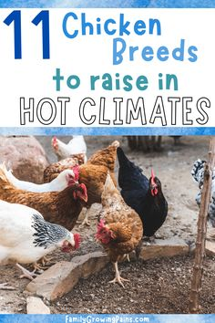 Not all chicken breeds handle living in hot climates. These 11 chicken breeds are great for hot weather. If you live in Texas, Florida, or any southern state, these heat hardy chickens are less likely to face heat stress or die from the heat. #chickens #breeds #hot #climates Backyard Chicken Coop Plans, Raising Backyard Chickens, Backyard Farming, Pet Chickens, Chicken Lady, Chicken Feed, Best Chickens For Eggs, Chicken Breeds For Eggs, Southern Chicken