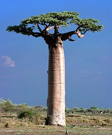 Madagascar - The baobabs are deciduous trees, reaching heights of between 5 and 30 mt., and the trunk diameter can reach 11 meters. Inside the swollen trunk, can immagazinare up to lt. of water to withstand drought Le Baobab, Baobab Tree, Giant Tree, Big Tree, Red Maple Bonsai, Francis Hallé, Weird Trees, Farm Landscaping, Unique Trees