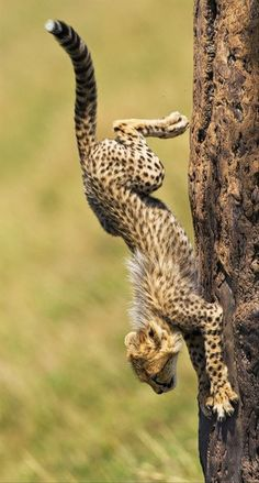 Cheetah running down a tree