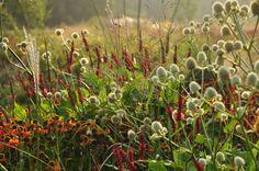 Combinatie van planten: Persicaria 'Firetail'; Helenium 'Mardi Gras'; and Eryngium yuccifolium