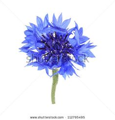 Knapweed flower on white by mexrix, via ShutterStock