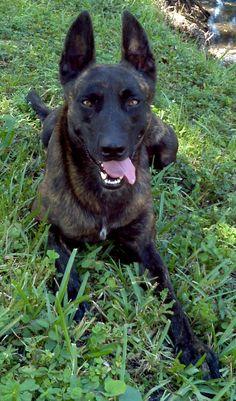 dutch sherherd dog photo   Funny Dutch Shepherd Dog Photo 857×1459 #191123 HD Wallpaper Res ...