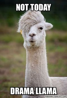 Alpacas resemble a small llama in appearance and are domesticated species of South American camelid. What makes them different is their hairstyle. Never have an idea that the alpacas have the most glamorous hair in the whole animal kingdom. Animal Captions, Funny Animal Memes, Funny Animal Pictures, Funny Animals, Cute Animals, Funny Memes, Funniest Animals, Funny Pics, Funny Quotes