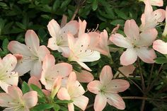 Rhododendron 'Kimi Maru' Azalea. 2-3' tall and wide. Part sun.