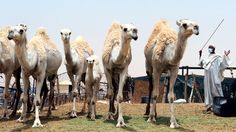 """""""Saudi Arabia has urged its citizens and foreign workers to wear masks and gloves when dealing with camels to avoid spreading MERS as health experts said the animal was the likely source of the disease"""" well. That's horrifying."""