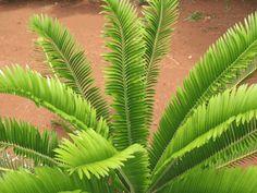 Encephalartos bulbalinus