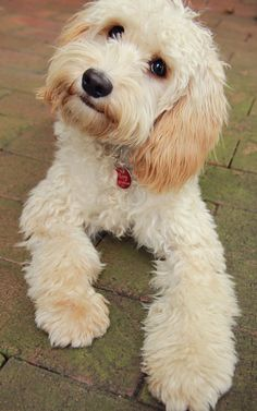 Cavoodle or Cavapoo (Cavalier King Charles Spaniel and Poodle hybrid) Cute Puppies, Cute Dogs, Dogs And Puppies, Doggies, Happy Puppy, Happy Dogs, Goldendoodle Haircuts, Cavalier King Charles Dog, Charles Spaniel