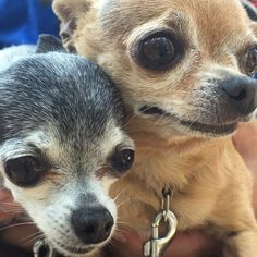 The tiniest dogs ever. #dogsofinstagram #dogs