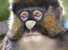 Endangered Spot Nosed Monkey