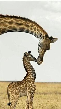 "girafes .................... #GlobeTripper® | https://www.globe-tripper.com | ""Home-made Hospitality"" | http://globe-tripper.tumblr.com/"