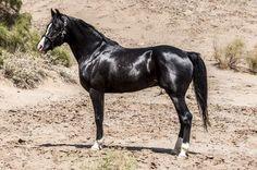 Jet black Pure Iranian horse (Persian Asil)