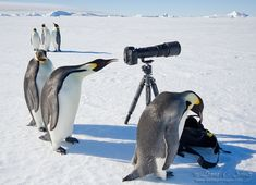 penguins in action