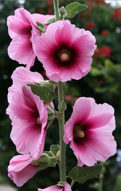 Hollyhocks in the Los Rios District of San Juan Capistrano, California • photo: Trader Chris on Flickr