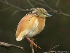 squacco heron - Pesquisa Google