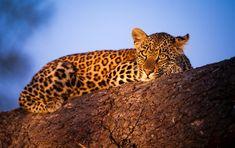 What makes Sabi Sands Safaris special (and affordable)? Sand Game, African Leopard, Visit South Africa, Kruger National Park, Game Reserve, Leopards, African Safari, Africa Travel, Hanging Out