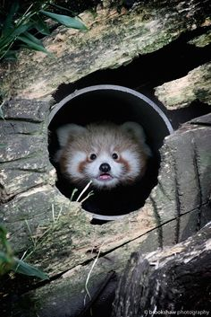 Red Panda Cub! by Gary Brookshaw on 500px