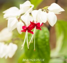 Monrovia's Variegated Bleeding Heart Vine details and information. Learn more about Monrovia plants and best practices for best possible plant performance.