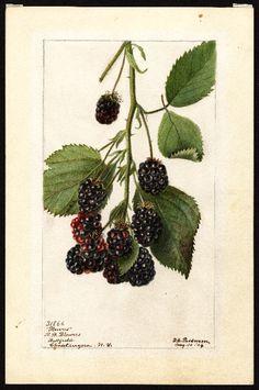 Artist:Passmore, Deborah Griscom, 1840-1911 Scientific name:Rubus Common name:brambles Variety:Blowers art original : col. ; 17 x 25 cm. Year:1904