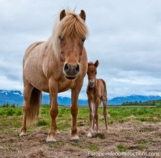 Europe Video Productions travel photo: Icelandic horse and foal – Icelandic pony – Small Icelandic horse – Horse from Iceland Tourism Iceland, Iceland Travel, Pictures Images, Travel Pictures, Travel Photos, Clydesdale, Appaloosa, Pretty Horses, Beautiful Horses