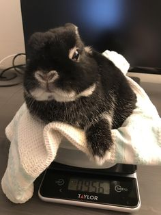Weekly weighings for an aging rabbit can tip an owner off to all sorts of health issues from bone/muscle loss to a slowing digestive system. It also has the benefit of being damn cute. http://ift.tt/2hNChSG