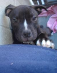 Jack is an adoptable Pit Bull Terrier Dog in Vallejo, CA. Meet Jack! Jack was born here at the Humane Society of the North Bay! This playful pup has a heart of gold, and a face that you just cannot re...
