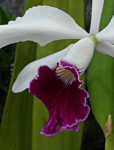 Orchid. | Flickr