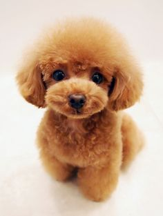"Fantastic ""poodle puppies"" detail is offered on our internet site. Read more and you wont be sorry you did Little Dogs, Little Puppies, Baby Animals, Cute Animals, Poodle Cuts, Tea Cup Poodle, Teacup Puppies, Cute Dogs And Puppies, Doggies"
