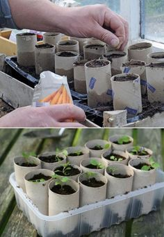 oilet paper rolls to start plants: Carrots are simple to sprout in any container deep enough to accommodate the roots. Starting carrot seeds indoors is an easy way to protect seedlings and get a head start on spring planting.Use toilet paper rolls to Veg Garden, Indoor Garden, Outdoor Gardens, Veggie Gardens, Vegetable Gardening, Garden Tools, Growing Plants, Growing Vegetables, Growing Tomatoes