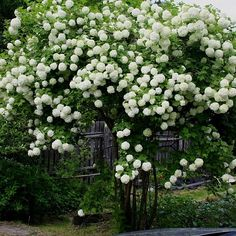Shrubs How to Grow Snowball Trees. A snowball tree (Viburnum opulus Sterile) is a deciduous shrub that is also known as a guelder rose. Snowball Plant, Snowball Viburnum, Garden Shrubs, Garden Trees, Garden Plants, Evergreen Shrubs, Trees And Shrubs, Moon Garden, Dream Garden