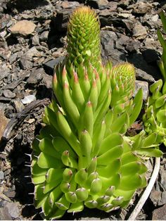 Orostachys spinosa - Dunce's Caps, Chinese Dunce Cap