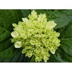 White green hydrangeas