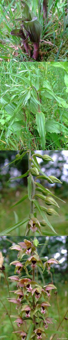 Brede wespenorchis - Epipactis helleborine