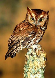 The Eastern Screech Owl is a small, nocturnal, woodland Owl. There are two color morphs, a gray phase and a reddish-brown phase. The Eastern Screech-Owl flies fairly rapidly with a steady wingbeat (about 5 strokes/second). They rarely glide or hover, but may fly with erratic movements, when maneuvering through wooded areas. Their wings are broad and the head is held tucked in giving the bird a stubby appearance when flying.