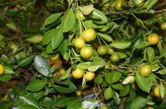 Cold hardy citrus tree