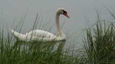Swan at Salt Pond in Eastham, Cape Cod.
