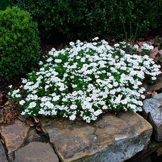 Think I will try this.........  Candytuft is a low growing border plant that spreads nicely.  It is an ever green all winter long.
