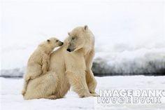 Polar bears: Climb aboard :)