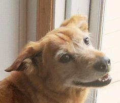 Toby Irish Terrier Mix • Senior • Male • Medium Save the Strays Animal Rescue Camden, SC