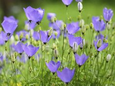 Campanula. This broad category of bellflowers ranges from the wild harebell to Canterbury bells, single blooms to large clusters of flowers. Colors include blue, lavender, white and pink. USDA Zones 3-9 (Pictured: Harebell)
